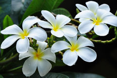 Plumeria. Is white flower and Loa's national flower royalty free stock image