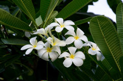 Plumeria. White plumeria flowers are bouquet Stock Photos