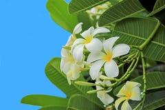 Plumeria Royalty Free Stock Photos