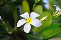 Plumeria. White flowers with lovely scent possesses Stock Photo