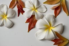 Plumeria flowers and red leaves frame on white background stock image