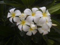 Plumeria, White Flowers stock images