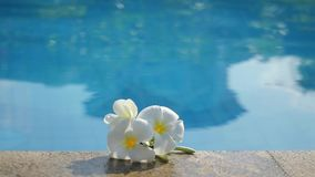 Plumeria white frangipani flowers by the pool. Conceptual theme for spa products. Changes focus from beautiful flowers stock video