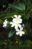 Plumeria White Royalty Free Stock Photo