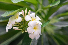 Plumeria. White frangipani or white plumeria flowers on tree Stock Photography