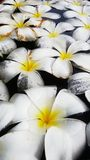 Plumeria. White Plumeria is a genus of flowering plants in the dogbane family Stock Image