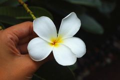 Plumeria White pretty and bright in nature. Royalty Free Stock Images