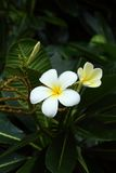 Plumeria White pretty and bright in nature. Royalty Free Stock Image