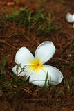 Plumeria White pretty and bright in nature. Royalty Free Stock Photography
