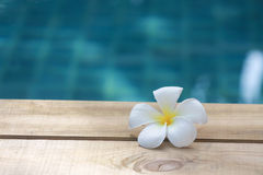 Plumeria. The white plumeria still look beautiful on wooden floor Royalty Free Stock Images