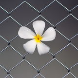 Plumeria on wire fence Stock Images