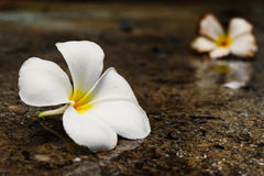 Plumeria witte bloem Stock Foto's