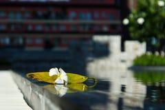 Plumeria witte bloem met zijn blad dichtbij zwembad Royalty-vrije Stock Afbeeldingen