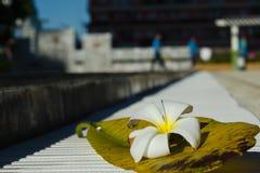Plumeria witte bloem met zijn blad dichtbij zwembad Stock Afbeeldingen