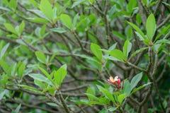 Plumeria & x28 frangipani& x29  δέντρο Στοκ φωτογραφία με δικαίωμα ελεύθερης χρήσης
