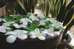 Plumeria y Pistia blancos en pote del jardín del agua imagen de archivo