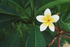 Free Plumeria. Yellow And White Tropical Flower Royalty Free Stock Image - 146171306