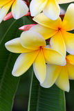 Plumeria Royalty Free Stock Images