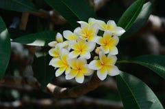 Plumeria Stock Photography