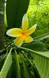 Plumeria. Yellow and white plumeria Royalty Free Stock Image