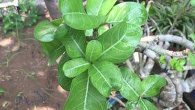 Plumeriabaum im Garten stock video