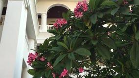 Plumeriabaum und rosa Blumen stock video footage