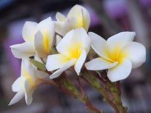 Plumeriabloem die op de boom bij avond bloeien Stock Afbeelding