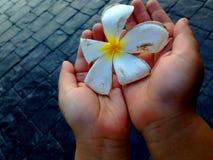 Plumeriabloem, Frangipani Royalty-vrije Stock Afbeeldingen