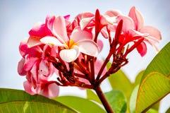 Plumeriabloem met roze en rode kleur royalty-vrije stock afbeelding