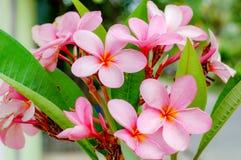 Plumeriabloem met roze en rode kleur royalty-vrije stock foto
