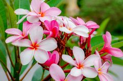 Plumeriabloem met roze en rode kleur stock foto