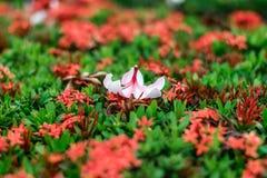 Plumeriabloem op rode aarbloemen royalty-vrije stock afbeeldingen