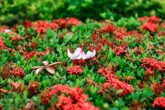 Plumeriabloem op rode aarbloemen stock foto