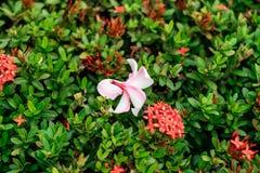 Plumeriabloem op rode aarbloemen royalty-vrije stock foto