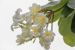 Plumeriabloem op Wit Geïsoleerde Achtergrond Royalty-vrije Stock Afbeelding