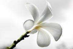 Plumeriabloemen Royalty-vrije Stock Afbeeldingen