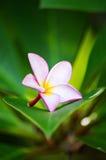 Plumeriabloemen Stock Afbeelding