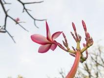 Plumeriabloemen in de tuin Stock Afbeelding