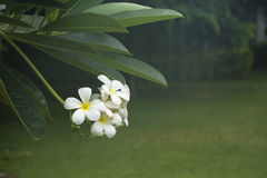 Plumeriabloemen in de tuin stock foto's
