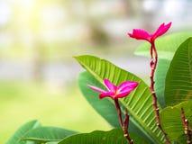 Plumeriabloemen, distinctieve kleuren Stock Fotografie