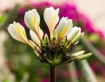 Plumeriabloemen op de boom Stock Foto's
