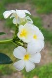 Plumeriablomma Royaltyfria Bilder