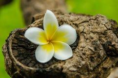 Plumeriablomma eller tropisk blomma för Frangipani arkivfoton