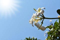 Plumeriablomma med naturblåttbakgrund Fotografering för Bildbyråer