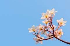 Plumeriablomma mot blå himmel Royaltyfria Foton