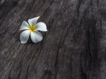Plumeriablomma på trägolv för mörk signal Royaltyfri Bild