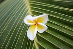 Plumeriablume auf einem Palmblatt Lizenzfreies Stockbild