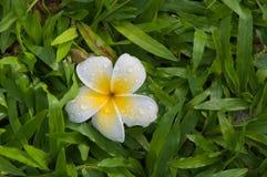Plumeriablume auf Gras Lizenzfreies Stockbild