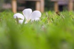 Plumeriablume auf Gras Stockbild