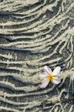 Plumeriablume auf sandigem Lavafelsen Lizenzfreie Stockfotos
